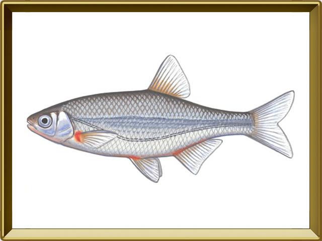 Быстрянка — рыба, фото в рамке №1
