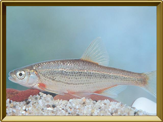 Быстрянка — рыба, фото в рамке №2
