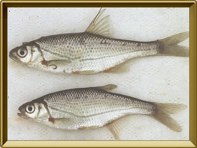 Быстрянка — рыба, фото в рамке №3
