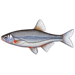 Быстрянка — рыба, картинка цветная