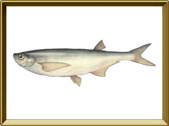 Чехонь — рыба, фото в рамке №1