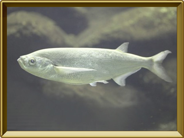 Чехонь — рыба, фото в рамке №2