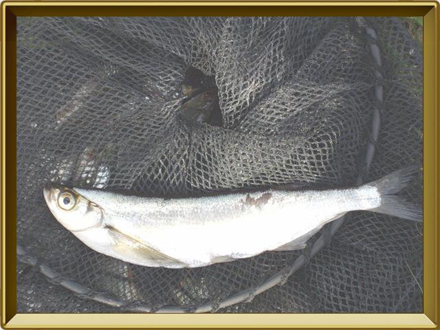 Чехонь — рыба, фото в рамке №3
