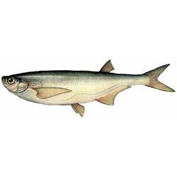 Чехонь — рыба, картинка цветная
