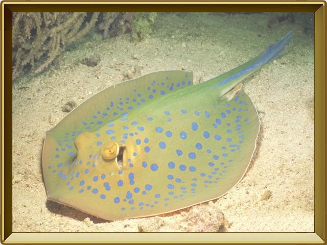 Электрический скат — рыба, фото в рамке №2