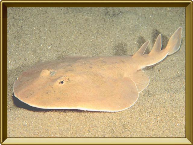 Электрический скат — рыба, фото в рамке №3