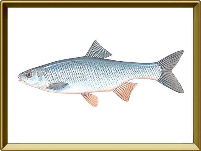 Елец — рыба, фото в рамке №1