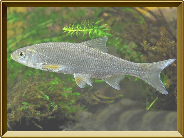 Елец — рыба, фото в рамке №2
