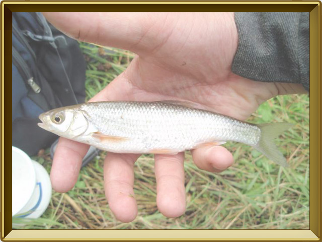 Елец — рыба, фото в рамке №3