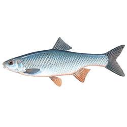 Елец — рыба, картинка цветная