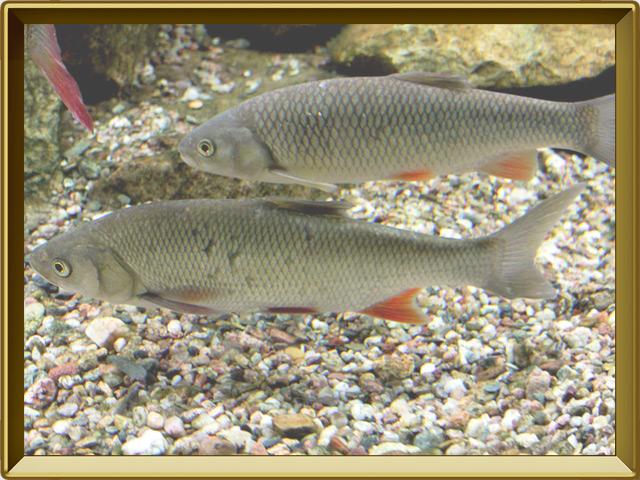 Голавль — рыба, фото в рамке №2