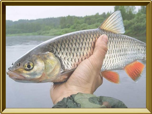 Голавль — рыба, фото в рамке №3
