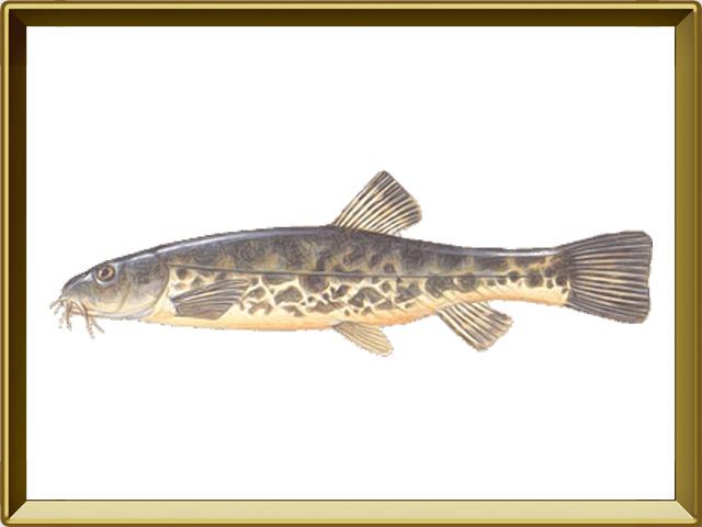 Голец усатый — рыба, фото в рамке №1