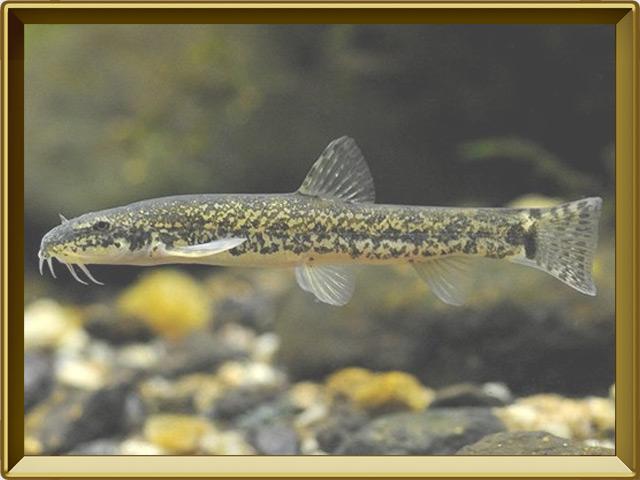 Голец усатый — рыба, фото в рамке №2