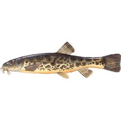 Голец усатый — рыба, картинка цветная