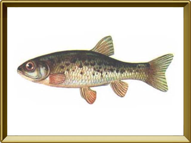 Гольян — рыба, фото в рамке №1