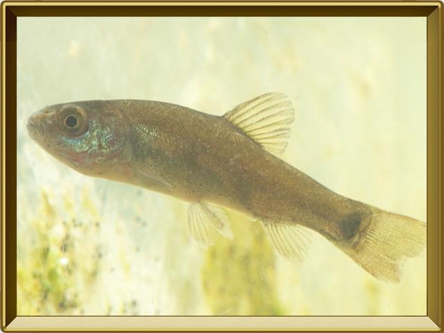Гольян — рыба, фото в рамке №2