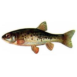 Гольян — рыба, картинка цветная