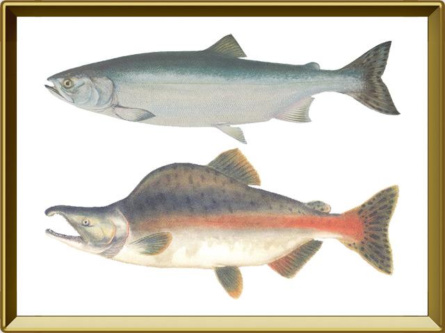 Горбуша — рыба, фото в рамке №1