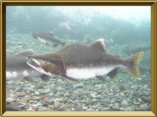 Горбуша — рыба, фото в рамке №2