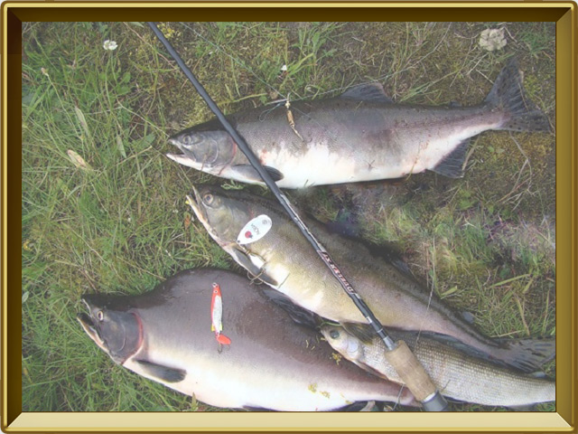 Горбуша — рыба, фото в рамке №3