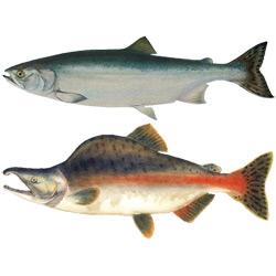 Горбуша — рыба, картинка цветная