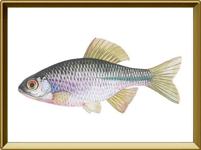 Горчак — рыба, фото в рамке №1