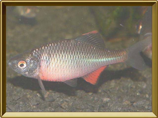 Горчак — рыба, фото в рамке №2