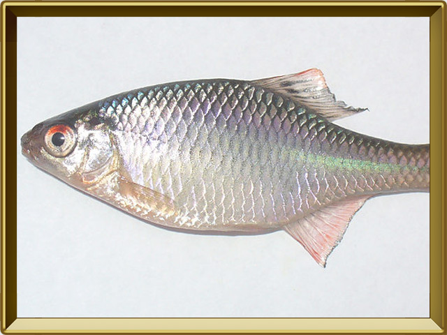 Горчак — рыба, фото в рамке №3
