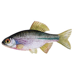 Горчак — рыба, картинка цветная