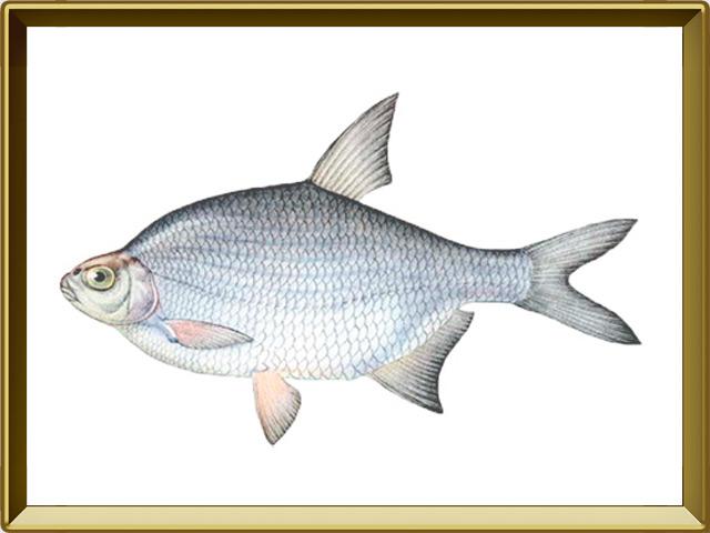 Густера — рыба, фото в рамке №1