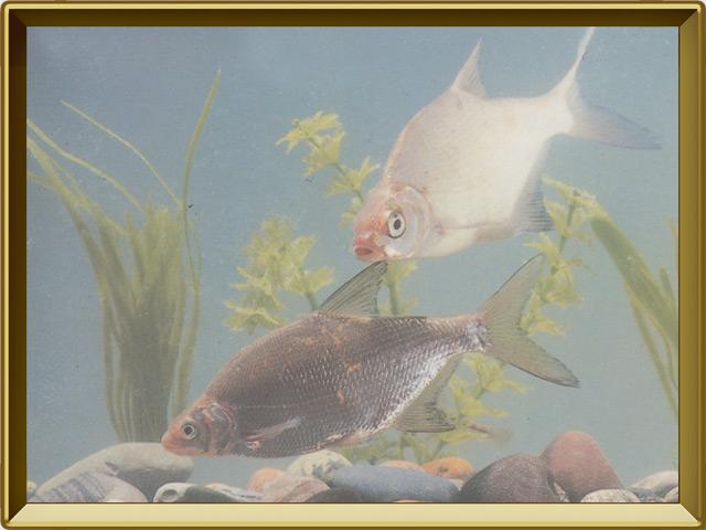 Густера — рыба, фото в рамке №2