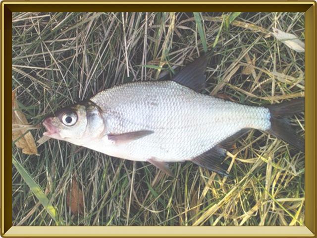 Густера — рыба, фото в рамке №3