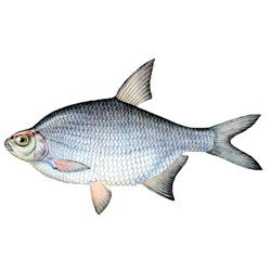 Густера — рыба, картинка цветная