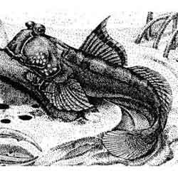 Илистый прыгун — рыба, картинка чёрно-белая