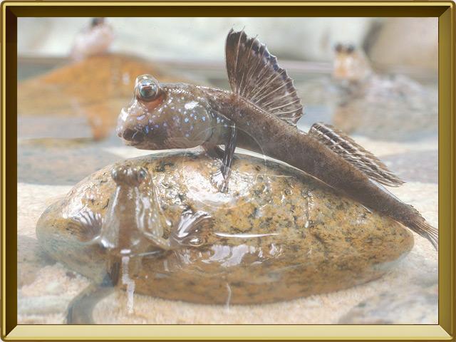 Илистый прыгун — рыба, фото в рамке №2