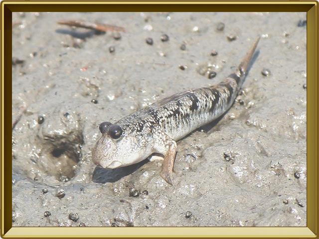 Илистый прыгун — рыба, фото в рамке №3