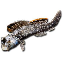 Илистый прыгун — рыба, картинка цветная