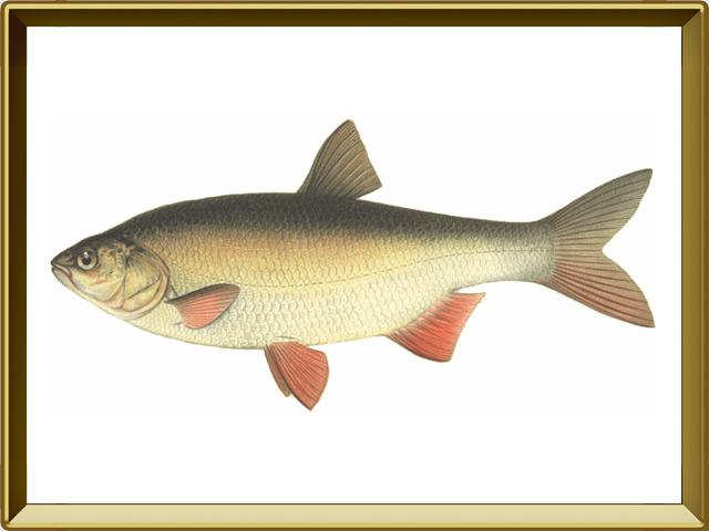 Язь — рыба, фото в рамке №1