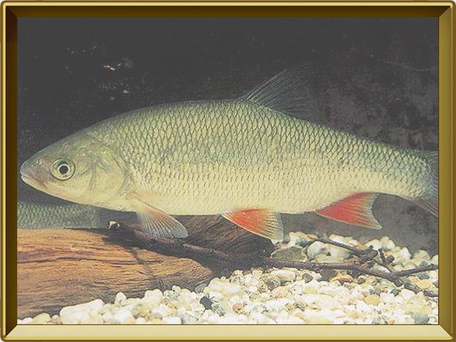 Язь — рыба, фото в рамке №2