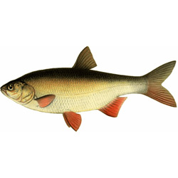 Язь — рыба, картинка цветная