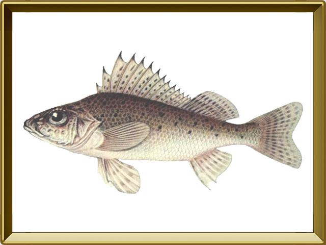 Ёрш — рыба, фото в рамке №1