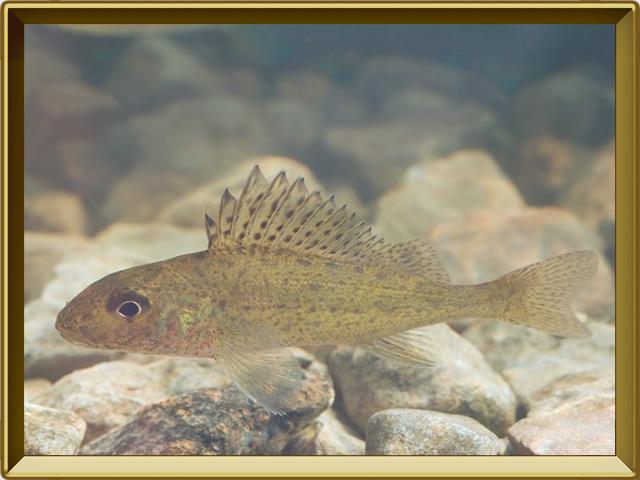 Ёрш — рыба, фото в рамке №2