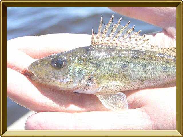 Ёрш — рыба, фото в рамке №3