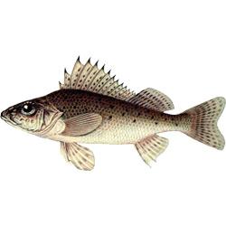 Ёрш — рыба, картинка цветная