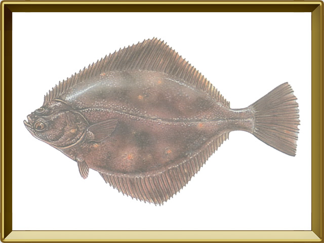 Камбала речная — рыба, фото в рамке №1