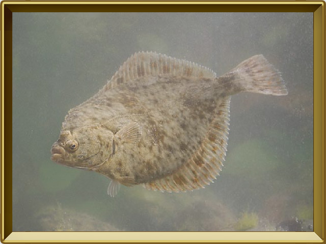 Камбала речная — рыба, фото в рамке №2