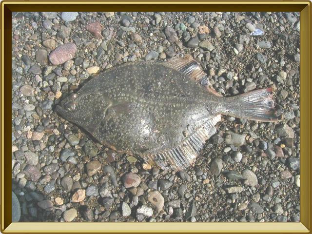 Камбала речная — рыба, фото в рамке №3