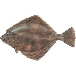 Камбала речная — рыба, картинка цветная