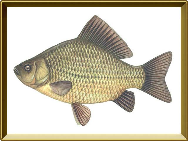 Карась золотой — рыба, фото в рамке №1